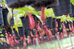 Tropische Kannenpflanzen Stockfotografie