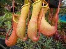 Tropische Kannenpflanzen Stockbilder