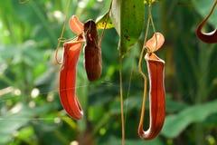 Tropische Kannenpflanzen Lizenzfreie Stockfotografie