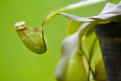 Tropische Kannenpflanzen, Affecups lizenzfreies stockfoto