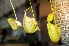 Tropische Kannenpflanzen oder Affeschalen Lizenzfreie Stockfotos