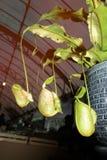 Tropische Kannenpflanzen oder Affeschalen Stockfotos