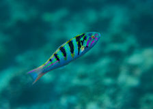 Tropische kleine bunte Fische, die unter Wasser in dem Indischen Ozean bei Malediven schwimmen Lizenzfreies Stockfoto