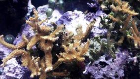 tropische kleine Fische schwimmen nahe einem Korallenriff stock video