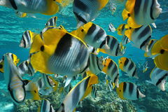 Tropische kleurrijke butterflyfish van de vissenondiepte royalty-vrije stock afbeeldingen