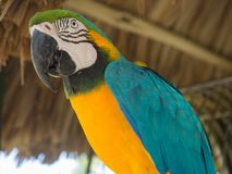 Tropische kleurrijke Papegaai in Aruba stock foto's