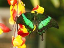 Tropische kleurrijke vlinder Stock Fotografie