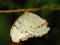 Tropische kleurrijke vlinder Stock Afbeelding