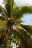 Tropische Kokosnusspalmennahaufnahme auf blauem Himmel Stockfoto
