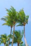 Tropische kokospalmen stock afbeeldingen