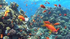 Tropische koraalrifscène met ondiepten van vissen stock videobeelden