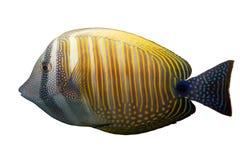 Tropische korallenrote Fische getrennt Stockbilder