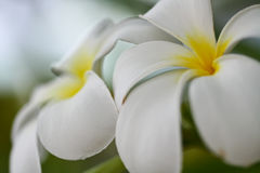 Tropische Leufrangipani-Blume Lizenzfreie Stockfotos