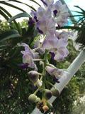 Tropische lichtpaarse orchidee stock afbeeldingen