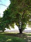(Tropische Mandel, Bengal-Mandel, indische Mandel, Seemandel, Strandmandel) stockbilder