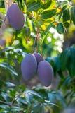 Tropische mangoboom met grote purpere rijpe mangovruchten die in boomgaard op Gran Canaria-eiland, Spanje groeien Cultuur van man stock afbeeldingen