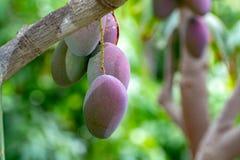 Tropische mangoboom met grote rijpe mangovruchten die in boomgaard op Gran Canaria-eiland, Spanje groeien Cultuur van mangovrucht stock fotografie