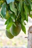 Tropische mangoboom met grote rijpe mangovruchten die in boomgaard op Gran Canaria-eiland, Spanje groeien Cultuur van mangovrucht royalty-vrije stock fotografie