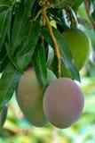 Tropische mangoboom met grote rijpe mangovruchten die in boomgaard op Gran Canaria-eiland, Spanje groeien Cultuur van mangovrucht stock foto