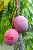 Tropische mangoboom met grote rijpe mangovruchten die in boomgaard op Gran Canaria-eiland, Spanje groeien Cultuur van mangovrucht stock foto's