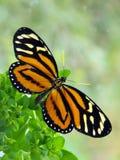 Tropische Milkweed-Vlinder Royalty-vrije Stock Foto