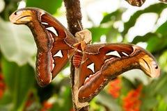 Tropische Motte: Attacus Atla Stockfotos