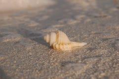 Tropische Muschel auf dem Strand stockbilder