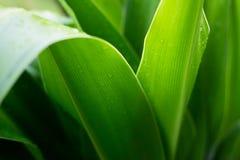 Tropische Natur des frischen Grünpflanzeblattes nach dem Regen, weiches focu Stockbild