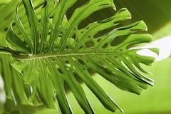 Tropische natuurlijke groene Monstera perforeerde bladeren met textuur Abstract natuurlijk patroon, exotische botanische achtergr Stock Fotografie