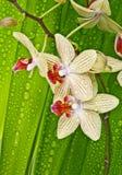 Tropische orchideeën Stock Foto
