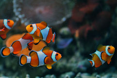 Tropische Overzeese Clown Fishes Royalty-vrije Stock Foto