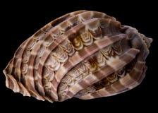 Tropische overzeese shell Royalty-vrije Stock Foto's