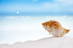 Tropische overzeese shell op wit het strandzand van Florida Stock Foto's