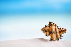 Tropische overzeese shell op wit het strandzand van Florida onder zonli Stock Afbeelding