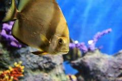 Tropische overzeese vissen Stock Afbeelding