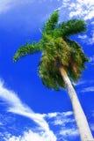Tropische palm op blauwe hemel Stock Afbeelding