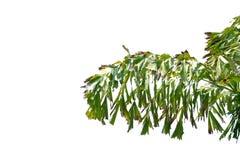 Tropische Palmblätter mit Niederlassungen und Sonnenlicht auf weißem lokalisiertem Hintergrund stockfotos