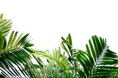 Tropische palmbladen met takken op wit geïsoleerde achtergrond voor groene gebladerteachtergrond stock foto