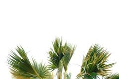 Tropische palmbladeren met takken op wit geïsoleerde achtergrond stock foto
