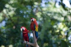 Tropische Papageien auf Zweig Lizenzfreies Stockfoto
