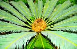 Tropische pinnate Palme lizenzfreie stockbilder