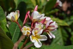 Tropische Plumeriablüte stockfotos
