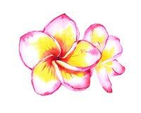 Tropische Plumeriaillustration Lizenzfreies Stockfoto
