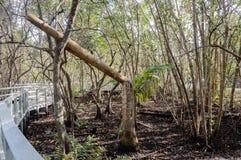 Tropische Promenade durch die Sumpfgebiete Lizenzfreies Stockbild