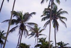 Tropische pulms auf dem Himmelhintergrund Lizenzfreies Stockfoto