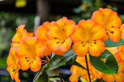 Tropische Rhododendronblumen Lizenzfreies Stockbild