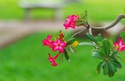 Tropische Rode Bloem royalty-vrije stock fotografie