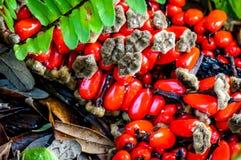 tropische rode zaden in moeras stock fotografie