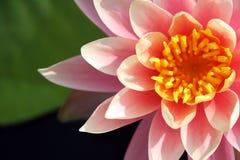 Tropische rosafarbene Wasserlilie Stockfotografie