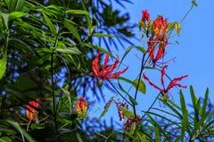 Tropische rote Blumen auf einem Hintergrund des blauen Himmels Stockfotos